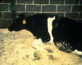 FDA's Enhanced Feed Ban to Curtail Mad Cow Disease